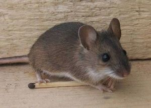 заговоры против крыс и мышей